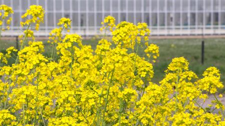 coleseed: Blooming coleseed in front of a greenhouse
