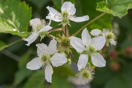 Blooming blackberries photo