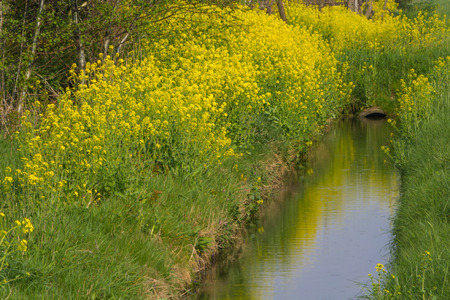 coleseed: Blooming coleseed on the side of the ditch Stock Photo