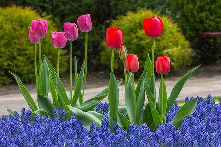Blooming flowerbed in de Keukenhof Lisse photo