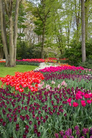 Blooming flowerbed in de Keukenhof Lisse photo