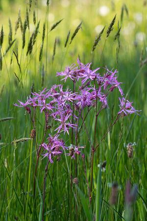 ragged robin: Coronaria flos-cuculi  Lychnis flos-cuculi  flowers