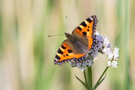 Small Tortoiseshell butterfly Stockfoto
