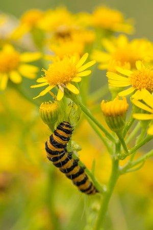 Caterpillar of Tyria jacobaeae