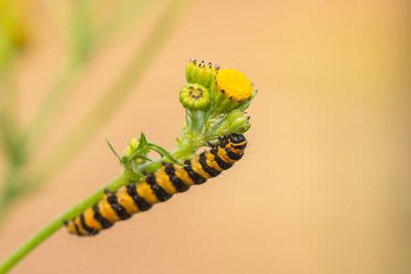 senecio: Caterpillar of Tyria jacobaeae
