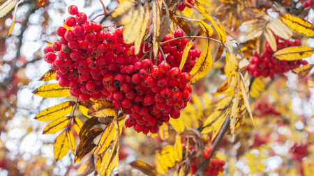 bunchy: Branch with the red berries of wild ash in front of a light blue sky