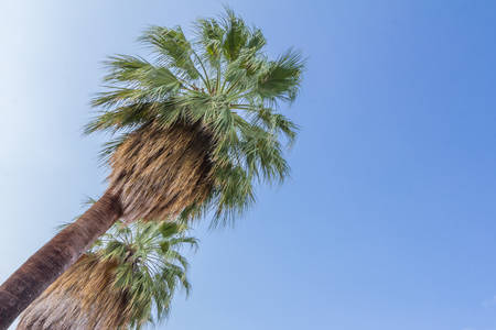 palm springs: Palm trees in Palm Springs