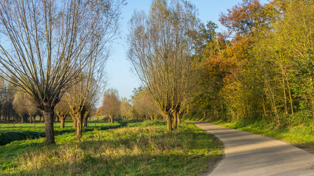 Dutch willows allong a road in autumn colors