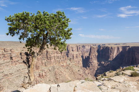 Lonely tree along the Grand Canyon US photo