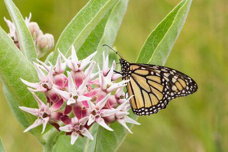 plexippus: Common Tiger butterfly - Monarch butterfly ( danaus plexippus) in Yosemity NP US
