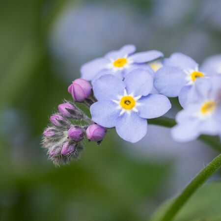 forget: A bunch of forget me not flowers