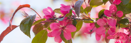crab apple tree: Fresh red crab apple flowers in the sun