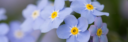 A bunch of forget me not flowers