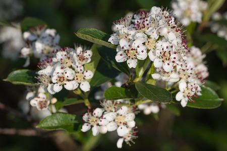 crata�gus: Macro de Crataegus blanco o flores de espino durante la primavera