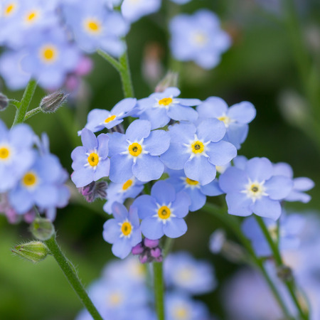 forget me not: A bunch of forget me not flowers
