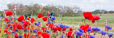 wadden: Tourists cycling through aa sea of colorful flowers on the Wadden islands of the Netherlands