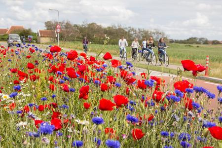 TERSCHELLING, NEDERLAND, 20 juni 2015: Toeristen fietsen door een zee van kleurrijke bloemen op de Waddeneilanden van Nederland Stockfoto - 42900891