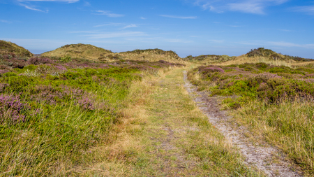 wadden: Dunes landscape of the wadden islands of the Netherlands with blooming heather and a path. Stock Photo
