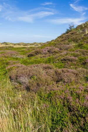 wadden: Dunes landscape of the Wadden islands of the Netherlands with blooming heather and a path.