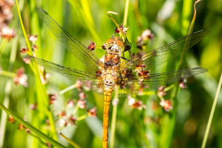 rudy: Macro of the rudy darter dragonfly Sympetrum sanguineum