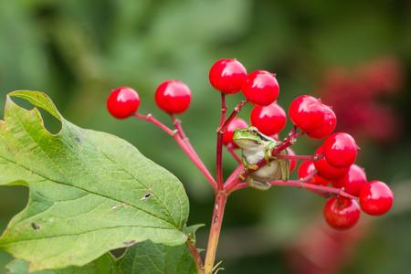 hyla: European Treefrog Hyla arborea hanging on red berries