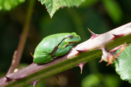 treefrog: European Treefrog Hyla arborea sits in the sun on a branch