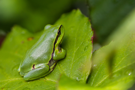 treefrog: European Treefrog Hyla arborea sits in the sun on a branch of a blackberry