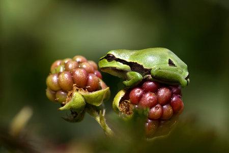 hyla: European Treefrog Hyla arborea Stock Photo