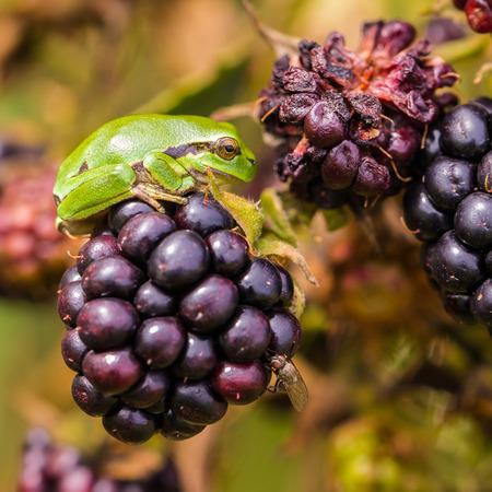 hyla: European Treefrog Hyla arborea between ripe blackberries