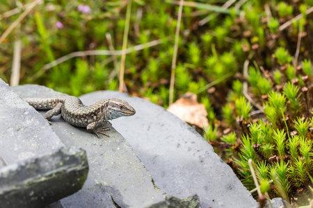 viviparous lizard: Zootoca vivipara common lizard on a tile