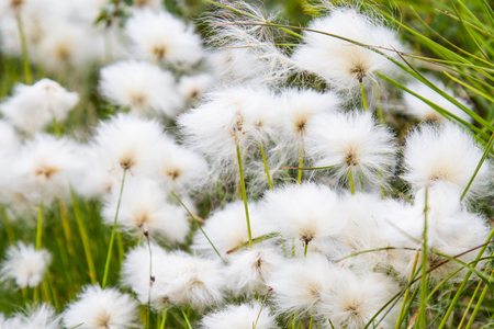 Cotton graas in the swamp of Finland