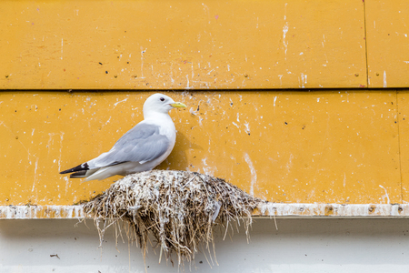 rorbu: Seagull on his nest on the edge of a window of a yellow rorbu in Nusfjord  Lofoten Islands Norway