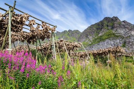 perch dried: Drying stockfisch Lofoten Islands Norway