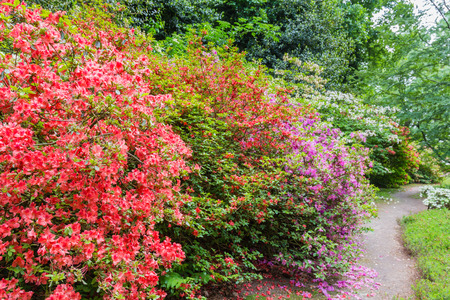 Rhododendron Flowers in public park