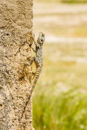 Lizard walking on the side of a rock in Jerash in Jordan