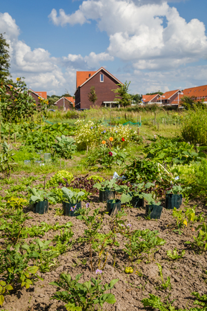 garden city: Urban agriculture: a vegetable garden beside modern houses in the subsurbs of a city
