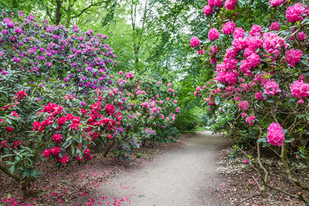Rhododendron Flowers in a public park