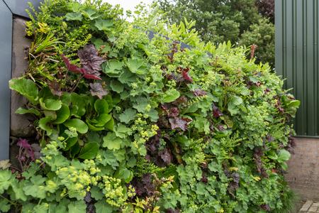 ladys mantle: Vertical gardening