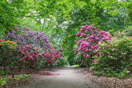 Rhododendron-Blumen in öffentlichen Park Standard-Bild