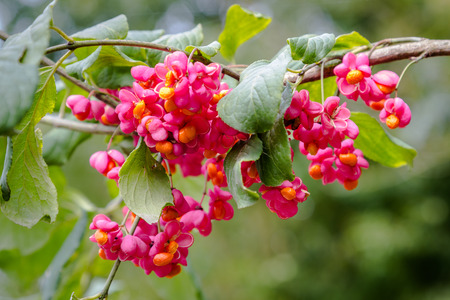 European spindle flower (Euonymus europaeus) 版權商用圖片
