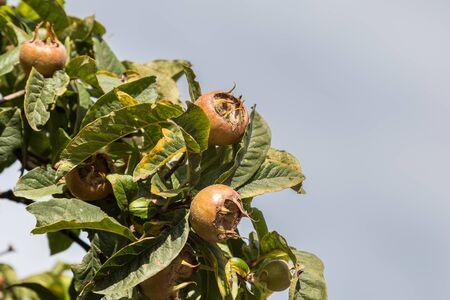 Common medlars on a tree (Mespilus germanica)