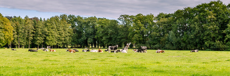 dutch typical: Typical Dutch landscape with a farm and cows in a meadow