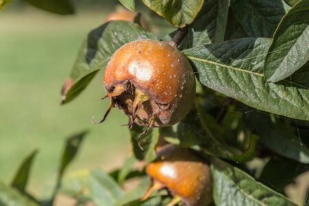 exceeded: Common medlars on a tree (Mespilus germanica)