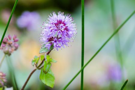 field mint: Wild water mint with purple flower Stock Photo