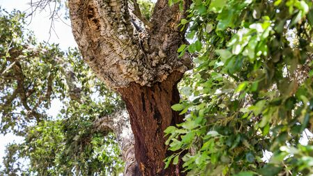 Cork tree in Monchique mountains in the Algarve in Portugal Imagens