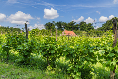 Vinyard in the Netherland Stock Photo