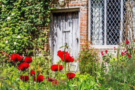 Old British poppy garden during spring in Sussex, England