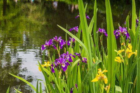 marginal: Yellow and purple iris on the water front