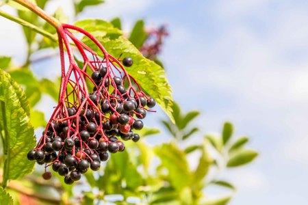 Elderberry busch with ripe berries Stok Fotoğraf
