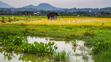 Rice fields in central Java Indonesia